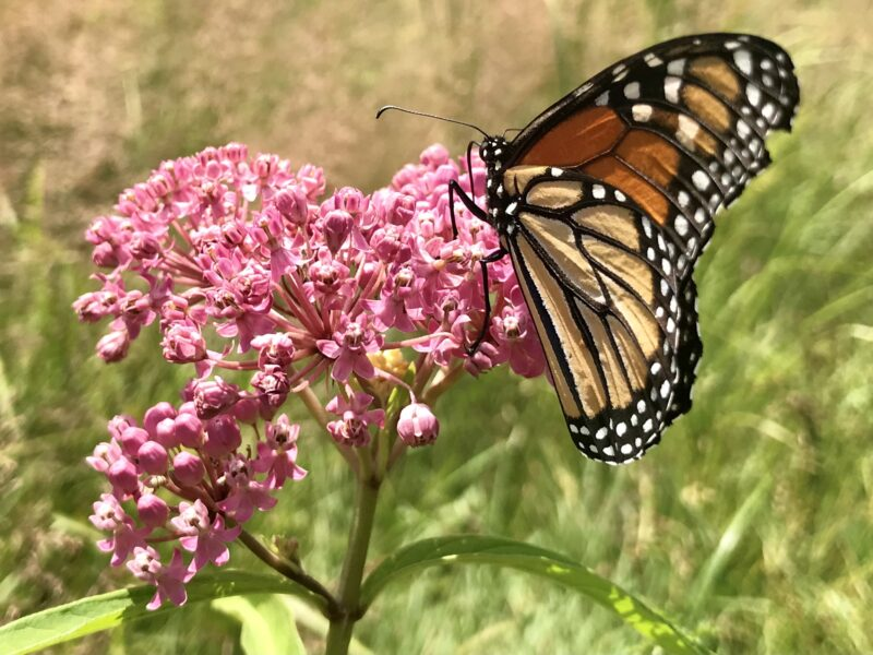 Asclepias incarnata, swamp milkweed, in flower with monarch butterfly
