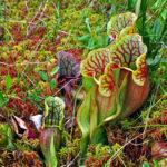 Purple_Pitcher_Plant_(Sarracenia_purpurea)_(7513872730)