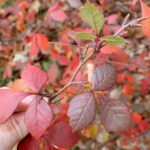 Rhus_aromatica_foliage_catkins_bruce marlin_CC BY-SA 3.0