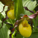 Yellow Lady Slipper by Dale Rehder:USFWS